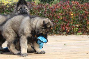 IMG_7936-altdeutcher schaferhund