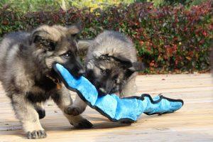 IMG_7940-altdeutcher schaferhund
