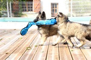 IMG_7944-altdeutcher schaferhund