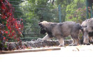 -comme-chiens-et-loupsIMG_8016