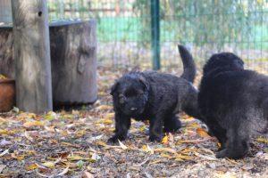 altdeutsche-schaferhund0010