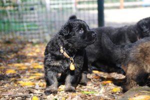 altdeutsche-schaferhund0012