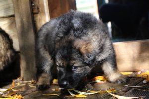 altdeutsche-schaferhund0024