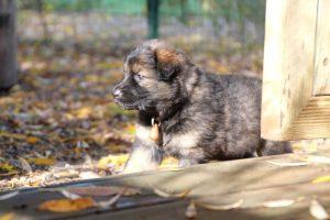 altdeutsche-schaferhund0034