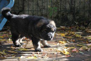 altdeutsche-schaferhund0039