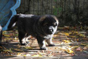 altdeutsche-schaferhund0040