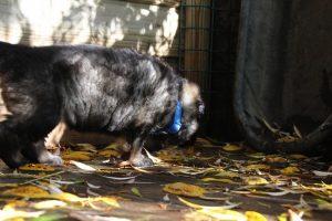 altdeutsche-schaferhund0046