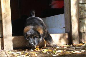 altdeutsche-schaferhund0056