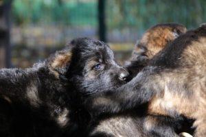 altdeutsche-schaferhund0078