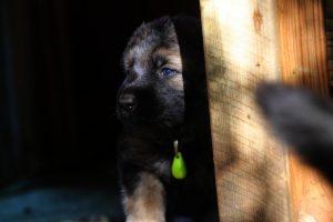 altdeutsche-schaferhund0081