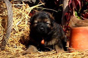 altdeutsche-schaferhund0115