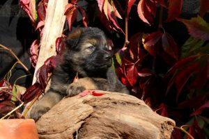 altdeutsche-schaferhund0127