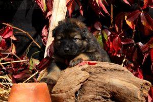 altdeutsche-schaferhund0128