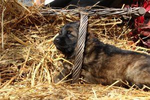 altdeutsche-schaferhund0156