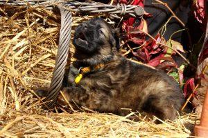 altdeutsche-schaferhund0158