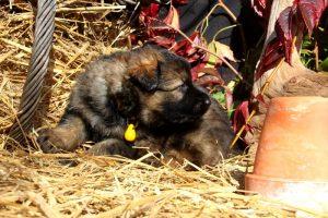 altdeutsche-schaferhund0160