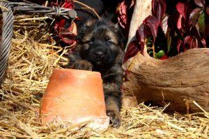 altdeutsche-schaferhund0165