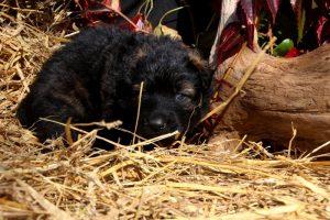 altdeutsche-schaferhund0171