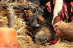 altdeutsche-schaferhund0194
