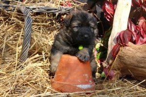altdeutsche-schaferhund0221