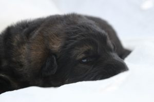 altdeutscher schaferhund0012