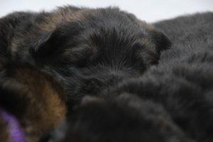 altdeutscher schaferhund0014