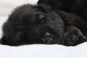 altdeutscher schaferhund0017