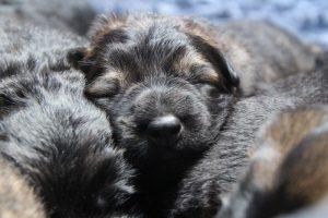 altdeutscher schaferhund0021