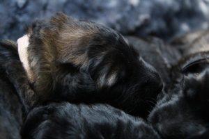 altdeutscher schaferhund0023