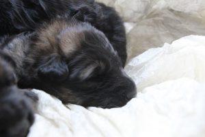 altdeutscher schaferhund0033