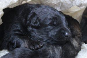 altdeutscher schaferhund0035