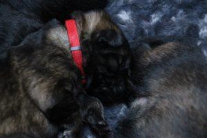 altdeutscher schaferhund0041