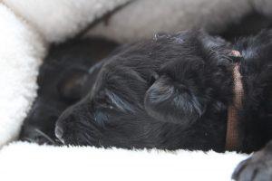 altdeutscher schaferhund0043