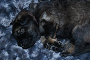 altdeutscher schaferhund0044