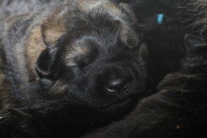 altdeutscher schaferhund0057
