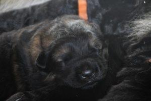 altdeutscher schaferhund0058
