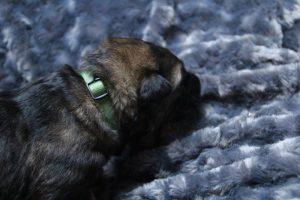 altdeutscher schaferhund0061