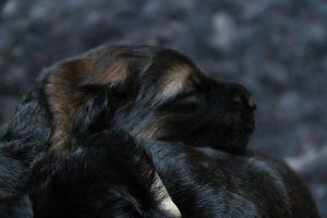 altdeutscher schaferhund0063