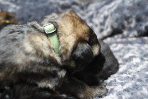 altdeutscher schaferhund0071