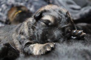 altdeutscher schaferhund0075