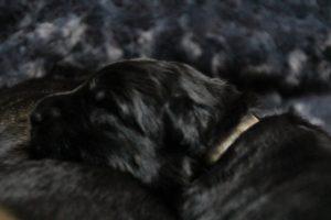 altdeutscher schaferhund0081