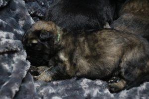 altdeutscher schaferhund0082