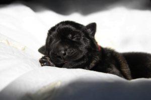 comme-chiens-et-loups-altdeutsche-schaferhund0003