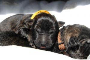 comme-chiens-et-loups-altdeutsche-schaferhund0021