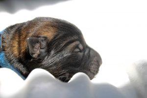 comme-chiens-et-loups-altdeutsche-schaferhund0042