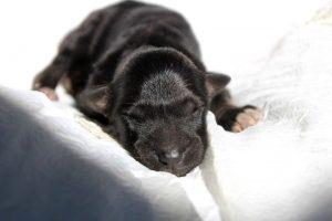Little-wolf