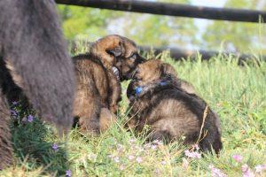 comme-chiens-et-loups0001