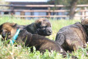 comme-chiens-et-loups0027