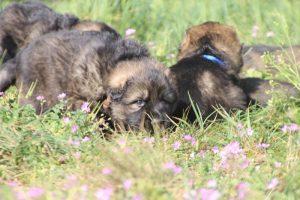 comme-chiens-et-loups0055