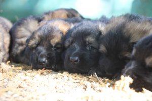 comme-chiens-et-loups0081